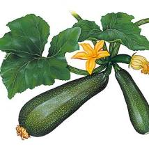 Courgette2