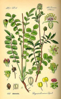 Sanguisorba minor Scopoli, Otto Wilhelm Thomé (1885)