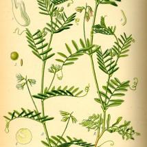 Lens culinaris Medik. Otto Wilhelm Thomé (1885)