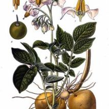 Aardappel_publicatiedatum en artiest onbekend_Solanum tuberosum_Irish potato