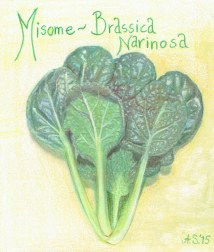 Misome_Brassica narinosa_AS.jpeg