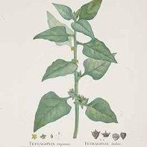 Nieuw-Zeelandse spinazie_Pierre-Joseph Redouté (10 juli 1759 - 20 juni 1840 _Tetragonia tetragonioides_genus Aizoaceae_Demodovia tetragonoides Pallas