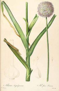Allium Ampeloprasum var. Porrum_P.J. Redouté_Les Liliacées_1805-1816