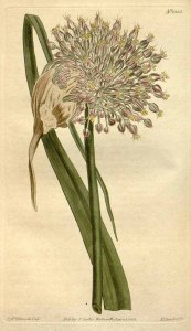 Allium Ampeloprasum var. Porrum_S.T. Edwards_Curtis's Botanical Magazine_1811