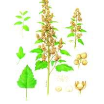chenopodium quinoa_andre boos_hedendaags-kunstenaar