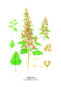 Quinoa_Andre Boos_hedendaags kunstenaar_Chenopodium quinoa