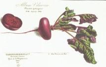 Rode biet_Vilmorin-Andrieux&Cie_Beta Vulgaris