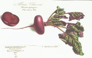 Rode biet_Vilmorin-Andrieux & Cie_Beta Vulgaris