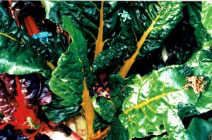 Beta vulgaris subsp. vulgaris var. cicla_frogs_Annette Winkelmolen_2004