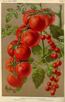Solanum lycopersicum_Kiefsling_1908