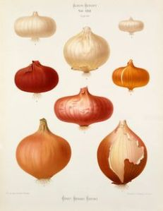 Title: Tab XXII Source: Chromolithograph plate, Album Benary, Vol VI, Benary,Ernst (1819-1893) 1879. Description: A Chromolithograph plate of Onion varieties taken from the Album Benary. The Album contains 28 colour plates in total of vegetable varieties by Ernst Benary which are named in the accompanying page in German, English, French and Russian. Date: 1879