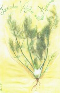 Foeniculum Vulgare var. Azoricum_A.S._2015