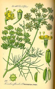 Foeniculum vulgare Miller_O.W. Thomé_1885