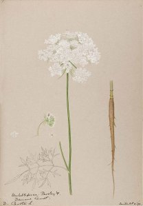 Wortel_Helen Sharp_Water-color sketches of American plants, especially New England_1888-1910_Daucus carota L