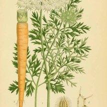 Wortel_uit Lindman C.A.M._Bilder ur Nordens Flora_vol. 2_t. 254_1922-1926_Daucus carota L