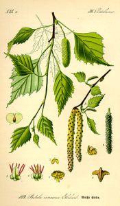 Betula_pendula_Otto Wilhelm Thomé _Flora von Deutschland Österreich und der Schweiz_vol. 2_ t. 164_1885