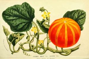 Pompoen_ Botanical Flore des Seres et Des Jardins de l'Europe_Cucumis Melo var. Dudaïm