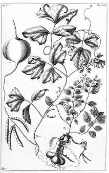 Pachyrhizus erosus_G.E. Rumphius_Herbarium amboiense_vol. 5_1747