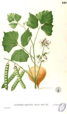 Pachyrhizus erosus_M. Blanco_Flora de Filipinas_t249_1875