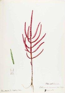 Zeekraal_Helen Sharp_Water-color sketches of American plants_1888-1910_Salicornia mucronata Bigelow