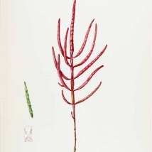 Zeekraal_Helen Sharp_Water-color sketches of American plants_1888-1910_Salicornia mucronata Bigelow