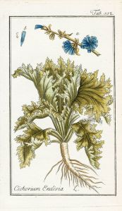 Cichorium endivia_J. Zorn_D.L. Oskamp_Afbeeldingen der artseny-gewassen met derzelver Nederduitsche en Latynsche beschryvingen_1800