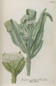 Brassica oleracea convar. botrytis var. botrytis_uit J.W. Weinmann_Phytanthoza iconographia_unsigned_1737