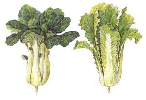 Chinese kool_kunstenaar onbekend_Brassica pekinensis & Brassica Chinensis