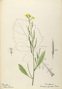 Chinese mosterd_Helen Sharp_Watersketches of American plants_1888-1910_Brassica juncea