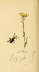 Brassica rapa as Brassica campestris_J. Curtis_ British entomology_1823-1840