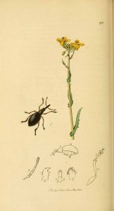 Brassica rapa as Brassica campestris_J. Curtis_ British entomology_1823-1840