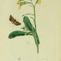 Brassica oleracea L._J. Curtis_British entomology_1823-1840
