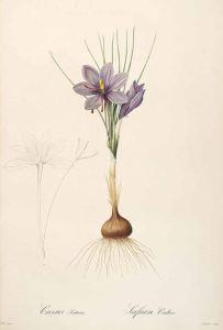 Crocus sativus_P.J. Redouté,_Les Liliacées_1805-1816