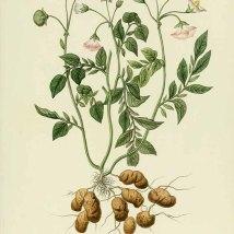 Aardappel_J. Gourdon_P. Naudin_Nouvelle iconograhie fourragère_1865-1871_Solanum tuberosum