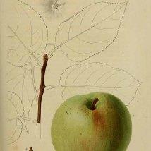 Appel_J.L.A. Loiseleur-Deslongchamps_herbier général de lámateur_1839-1850_Malus Pumila Miller var. Bronderelle