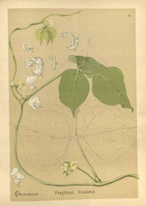 Phaseolus vulgaris_C.F. Millspaugh_American medicinal plants_1892