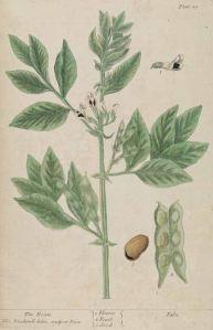 Phaseolus vulgaris_E. Blackwell_A curious herbal_1737