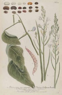 Phaseolus vulgaris_J.W. Weinmann_Phyanthoza iconographia_1745