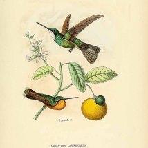 Citrus medica L. _E. Mulsant_E. Verreaux_Histoire naturelle des oiseaux-mouches_1877