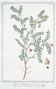 Erwt_Kikker-_ Giorgio Bonelli_Hortus Romanus juxta systema tournefortianum_1783-1816_Cicer arietinum