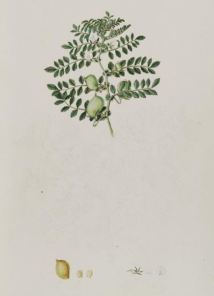 Cicer arietinum_J. Sibthrop_J.e. Smith_Flora Graeca_1833