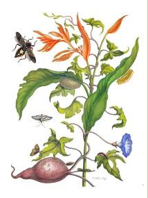 Zoete bataat_Maria Sybilla Merian_1705_Ipomoea batatas (L.) Poiret