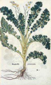 Brassica oleracea var. sabellica_Krauser Köl _Leonhart Fuchs_Das Kräuterbuch von 1543