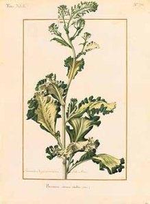 Brassica oleracea L. var sabellica_Nicolas Robert_Collection des vélins du Muséum national d'histoire naturelle_1614-1668