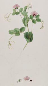 Pisum sativum var. arvense L_J. Sibthrop_J.E. Smith_Flora Graeca_1830