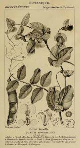 Pisum sativum var. arvense L_P.J.F. Turpin_Dictionnaire des sciences naturelles_Plates Botanique_1816-1830