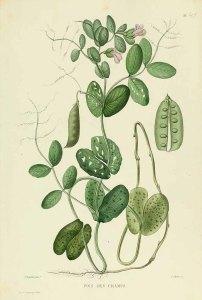 Pisum sativum var. arvense L_J. Gourdon_P. Naudin_Nouvelle iconographie fourragère_1865-1871