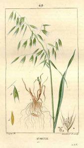 Avena sativa L._F.P. Chaumeton_Flore médicale_1833
