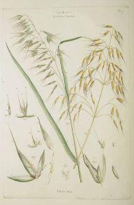Avena sativa L._J. Miller_J.S., M.B. Borckhausen_Illustratio systematis sexualis Linnaei_1770-1777