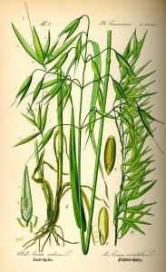 Avena sativa L._O.W. Thomé_Flora von Deutschland Österreich und der Schweiz_1885